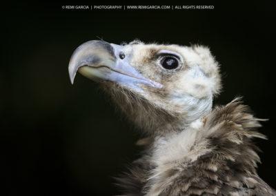 Portrait de vautour moine