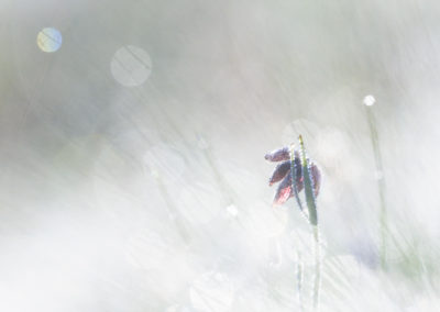 Fritillaria orientalis