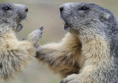 Marmottes en train de Jouer