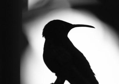 Colibri madère (Eulampis jugularis)
