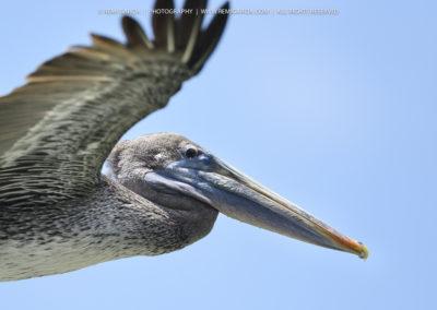 Pélican gris (Pelecanus rufescens)