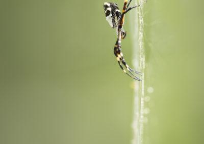 Araignée argentée (Argiope argentata)