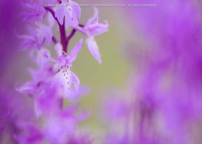 Détail d'Orchidée Sauvage