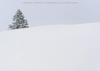Jeune sapin couvert de neige