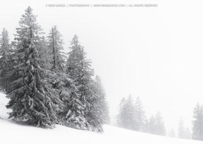sapins couverts de neige