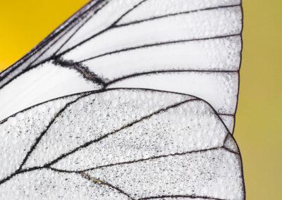 Détail d'aile de papillon