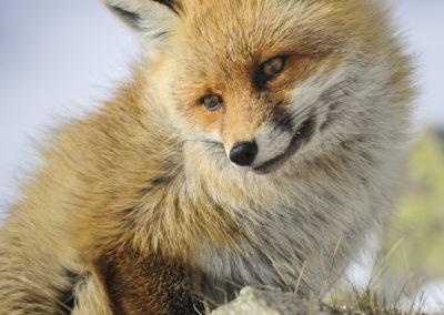 Portrait de renard roux