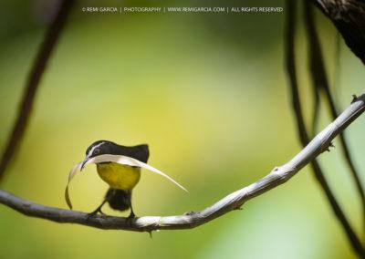 Sucrier (Coereba flaveola) en train de faire son nid