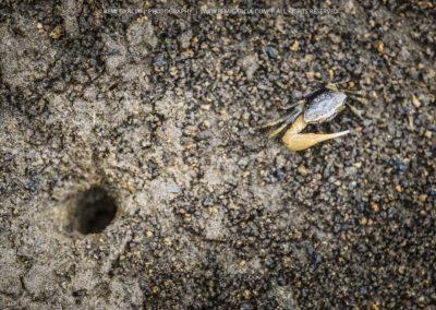 Crabe violoniste mâle