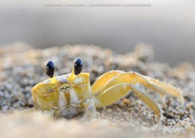Crabe fantôme (Ocypode quadrata)