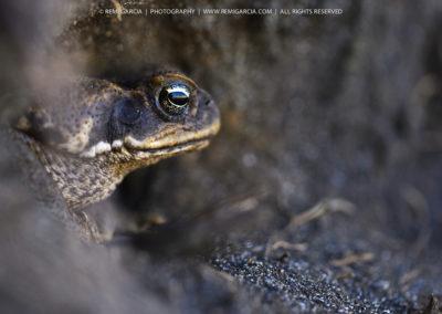 Crapaud buffle (Bufo marinus)