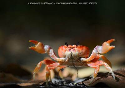 Crabe terrestre (touloulou)