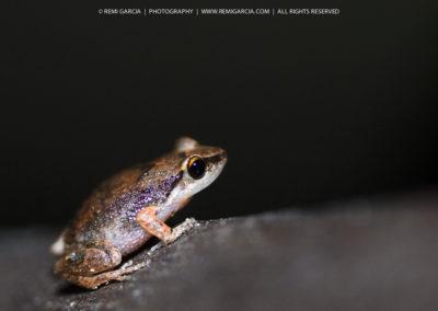 Hylode de Martinique (Eleutherodactylus martinicensis)