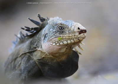 Iguane délicat (Iguana delicatissima)
