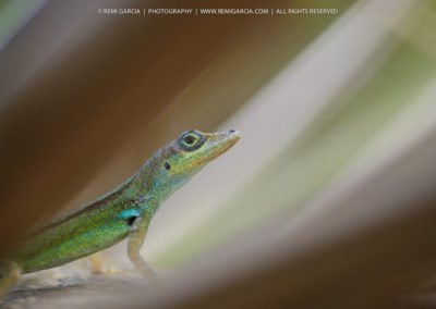 Anolis Martiniquais (Anolis roquet)