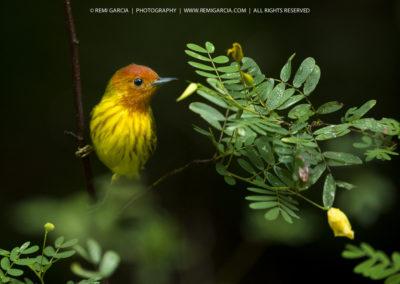 Paruline jaune migratrice (Didine - Dendroica petechia ruficapil