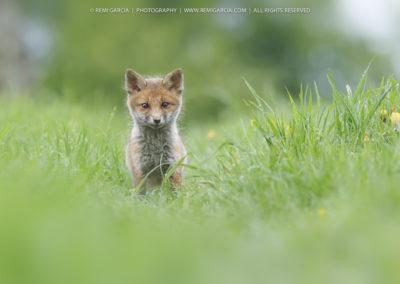 Jeune renardeau dans un champ